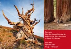 Auf der Suche nach dem ältesten Baum